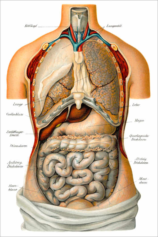 Premium poster Thoracic and abdominal organs