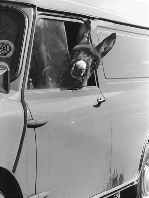Premium poster Donkey looks out the car window