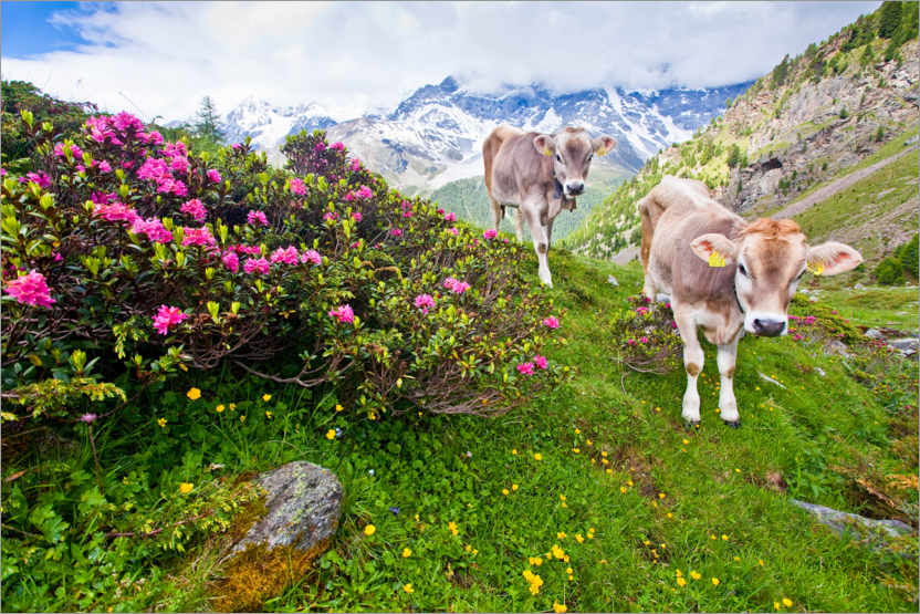 Premium poster Cows on the ascent to Schönegg