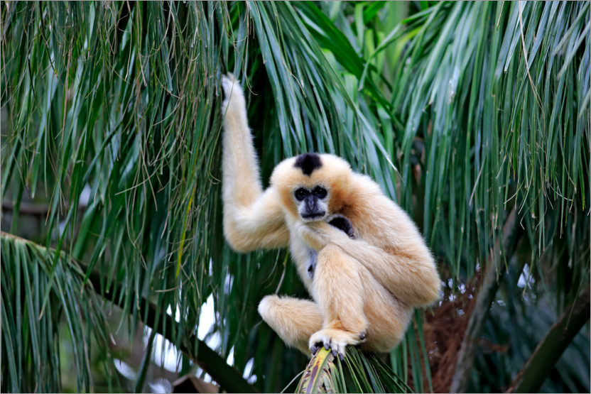 Premium poster Northern white-cheeked crested gibbon