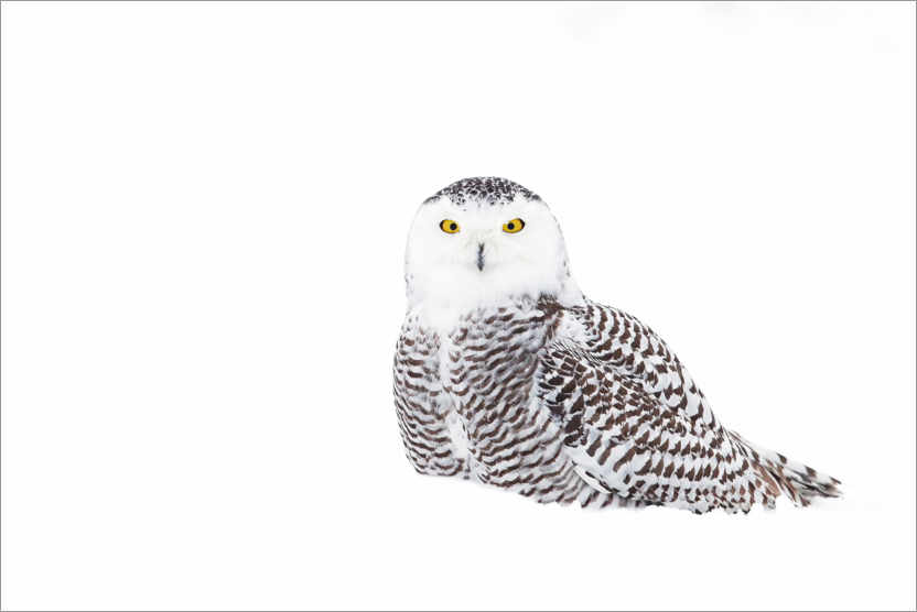 Premium poster Snowy Owl in the winter snow