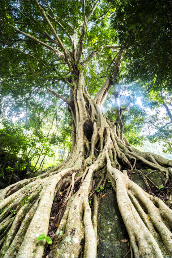 Premium poster Roots of a large tree