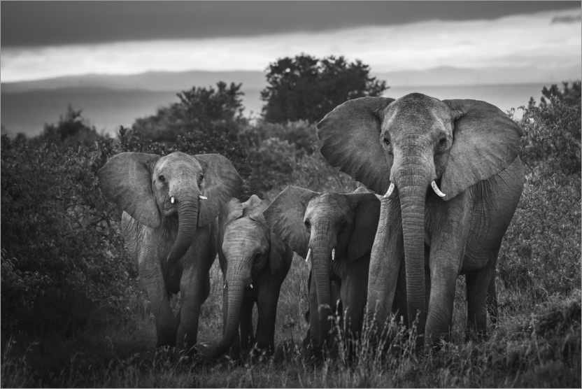 Premium poster A famille of African elephants