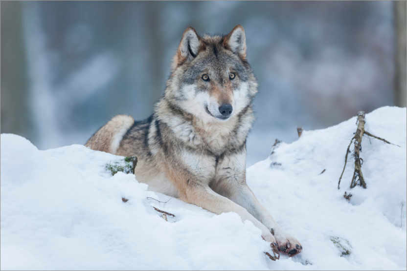 Premium poster She-wolf lies in the snow
