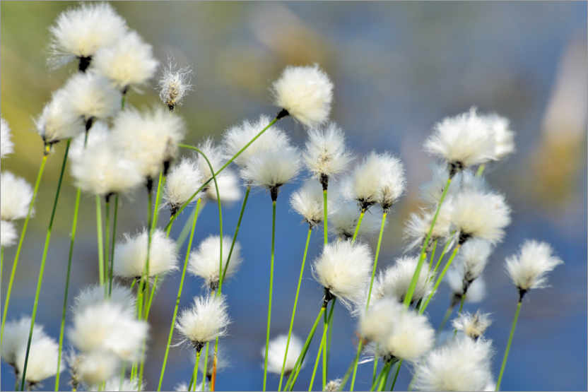 Premium poster Blooming Scheidiges Cottongrass