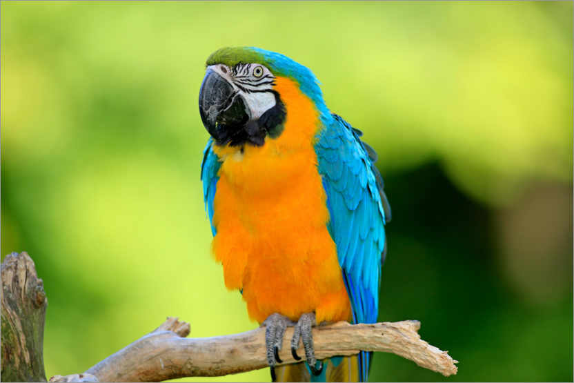 Premium poster Yellow and breast macaw