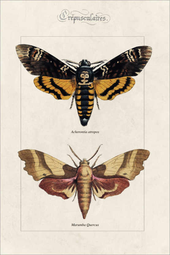 Premium poster Death's Head hawkmoth and oak hawkmoth