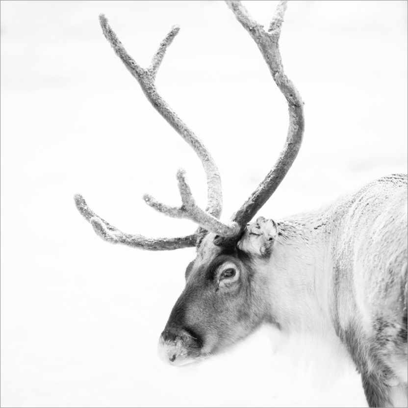 Premium poster Reindeer in the Arctic