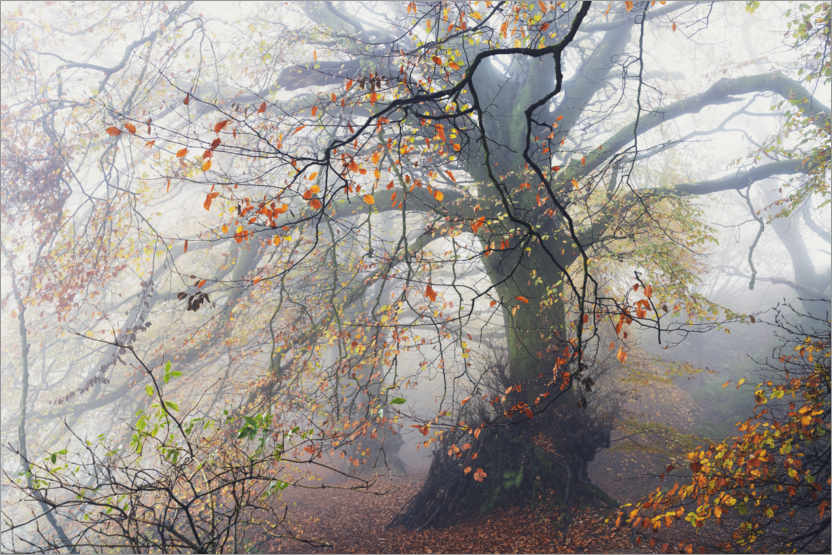 Premium poster Big beech tree with autumn colors in the fog in England