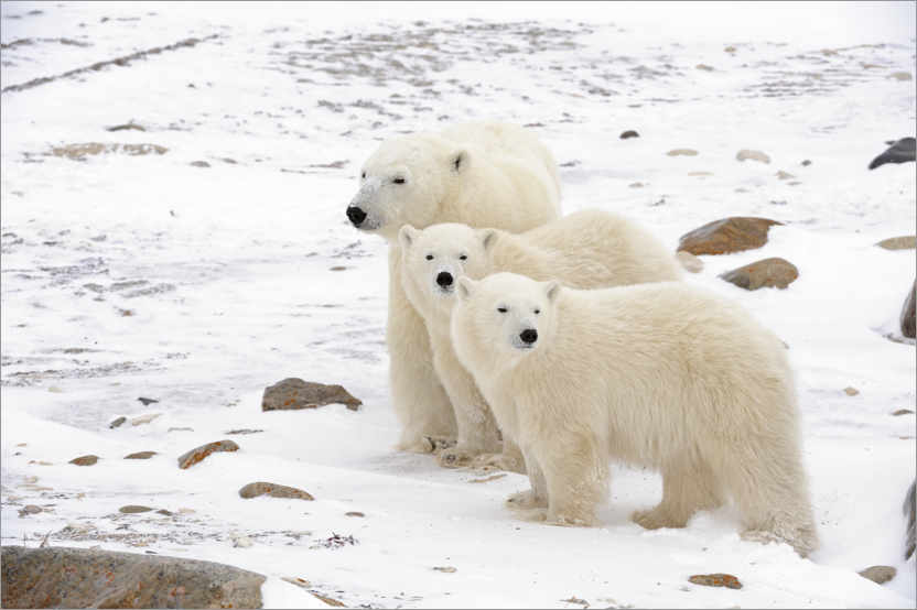 Premium poster Polar bear mother and two cubs
