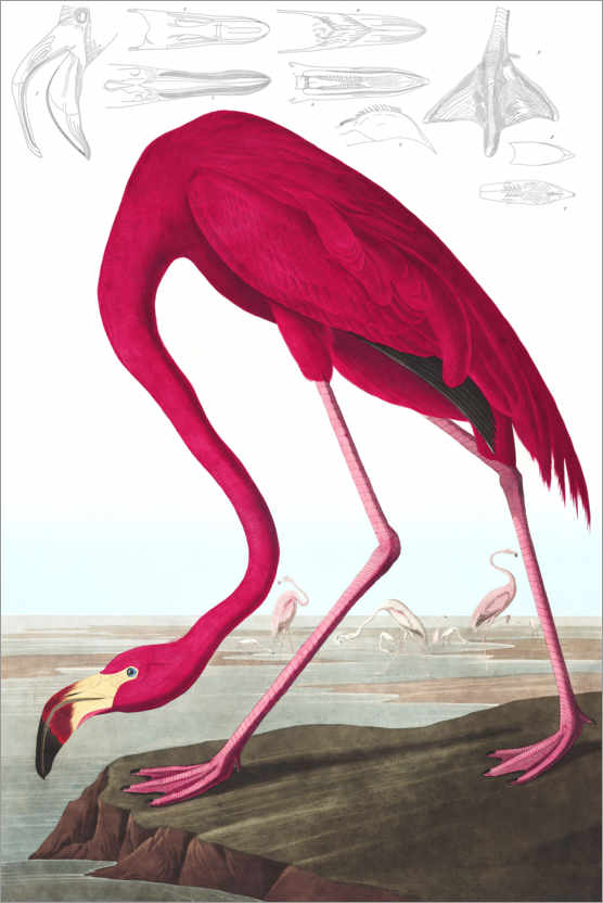 Premium poster American flamingo, The Birds of America