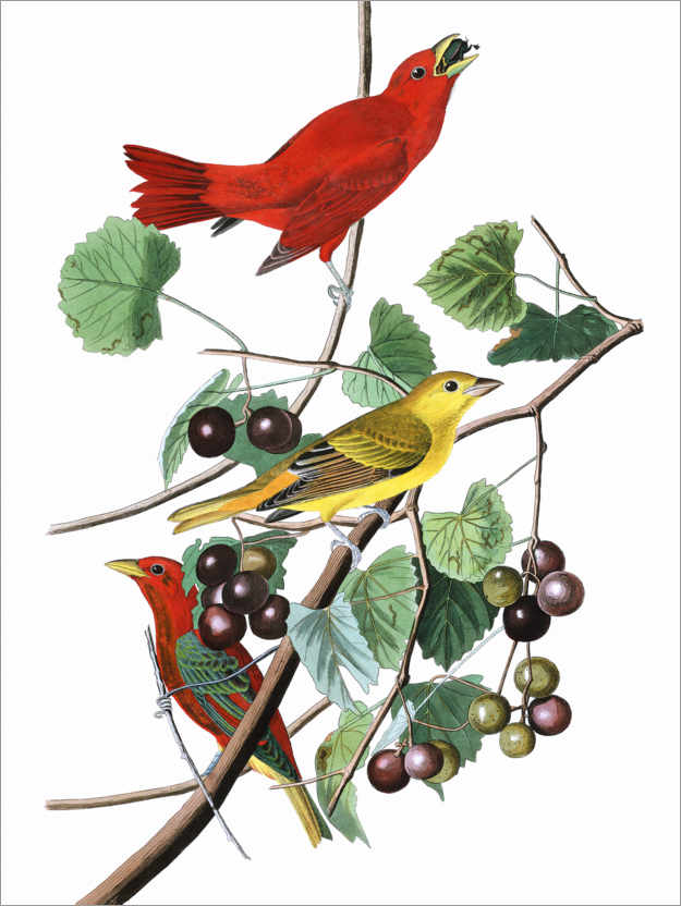 Premium poster Summer tanagers