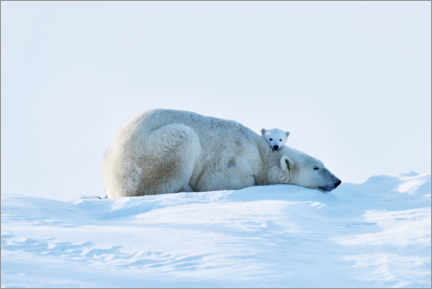 Gallery print  Resting polar bear with cub - P. Marazzi