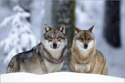 Acrylic print  Wolves in the snow - age fotostock