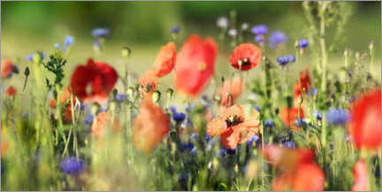 Premium poster Poppy, grain and wildflower meadow