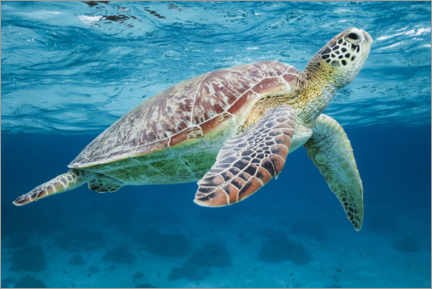 Premium poster Sea turtle under the water