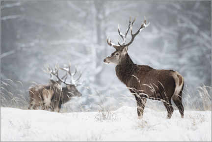 Premium poster  Deer in the snow - Moqui, Daniela Beyer