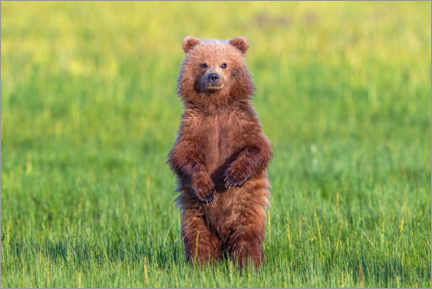 Premium poster Young bear in a meadow