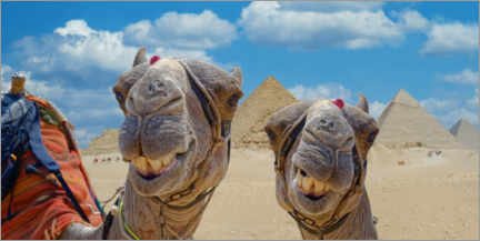 Premium poster  Smiling Camels - Michael Rucker