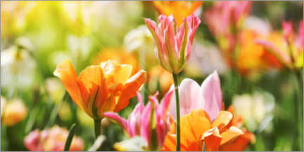 Canvas print  Pink and orange tulips - Lichtspielart