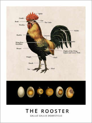 Wood print  The Rooster, Diagram (Vintage) - Wunderkammer Collection