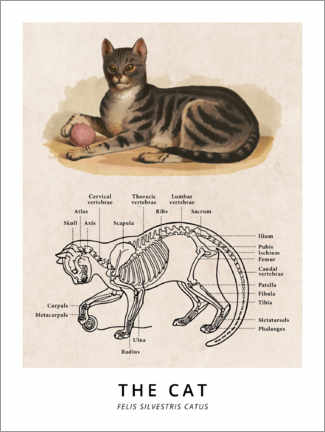 Foam board print  The Cat, Diagram (Vintage) - Wunderkammer Collection