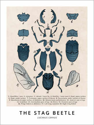 Wood print  The Stag Beetle, Diagram (Vintage) - Wunderkammer Collection