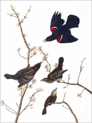 Premium poster Red-winged Blackbird