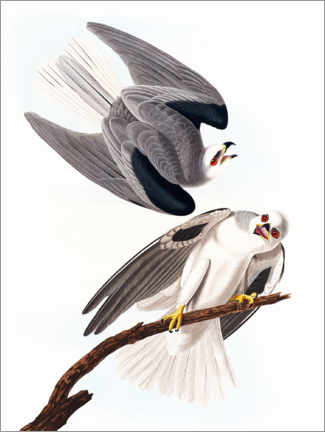 Premium poster  Black-winged kite - John James Audubon