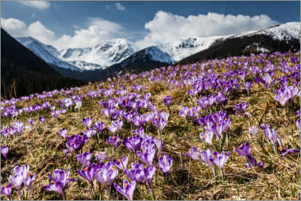 Premium poster Crocuses in the Tatras