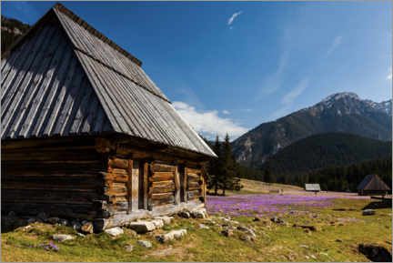 Premium poster Crocuses, Chocholowska Valley, Tatra Mountains
