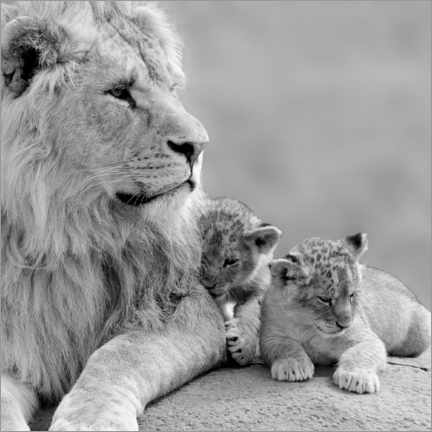 Canvas print  Young Lions in Black and White