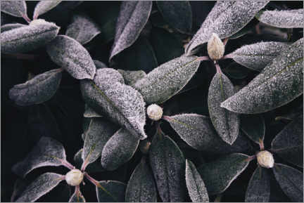 Canvas print  Rhododendron with frost - Sebastian Warneke