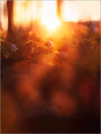 Acrylic print  Wood anemone in the evening light - Lena Steiner