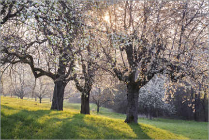 Wall sticker  Blossoming cherry trees in the light of the rising sun - The Wandering Soul