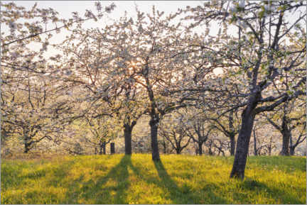Premium poster Sunset in the cherry blossom grove in spring