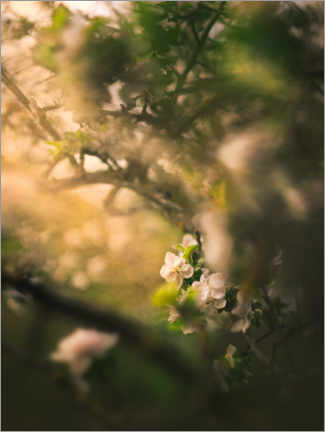 Premium poster Apple blossom in the evening light