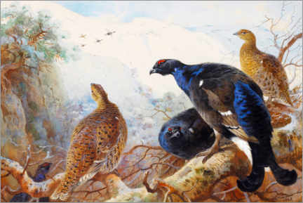 Premium poster  Black grouse - Archibald Thorburn