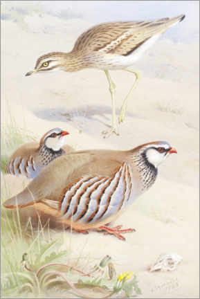 Premium poster  Curlew and a French partridge - Archibald Thorburn