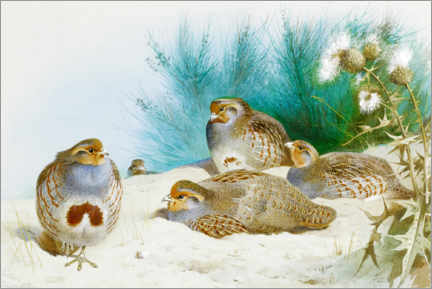 Acrylic print  English partridge with gorse and thistles - Archibald Thorburn