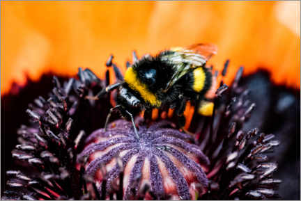 Premium poster  Little bumble bee in a poppy flower - Jan Trstenjak