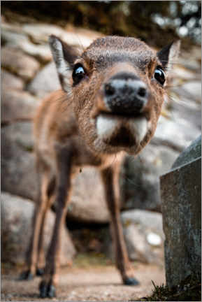 Gallery print  Close-up of young sika deer - Marcel Gross