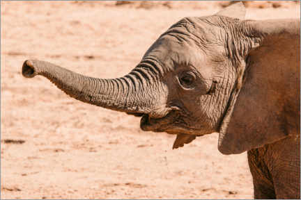 Gallery print  Young desert elephant with outstretched trunk - Marcel Gross
