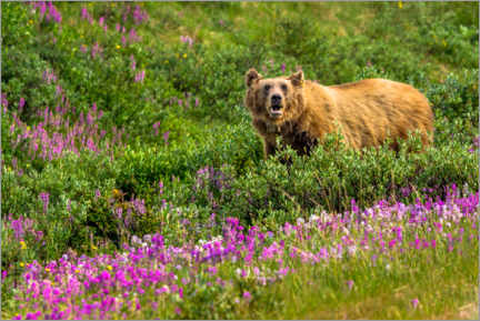 Gallery print  Grizzly bear in the Rocky Mountains - Marcel Gross