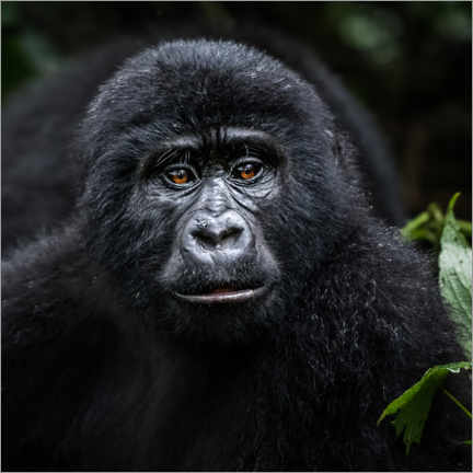 Premium poster  Young gorilla in Bwindi - Marcel Gross