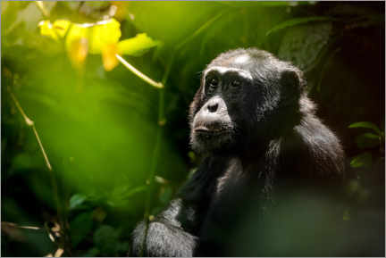 Acrylic print  Thoughtful wild chimpanzee in the Kibale Forest - Marcel Gross