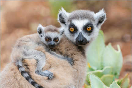 Premium poster  Baby ring-tailed lemur clinging to the mother - Ellen Goff
