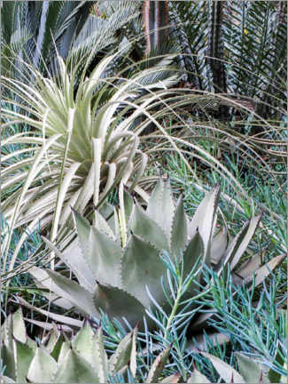 Acrylic print  Garden with an assortment of agaves - Julie Eggers