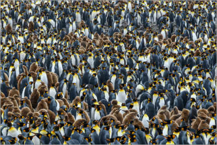Canvas print  Dense king penguin colony - Yuri Choufour