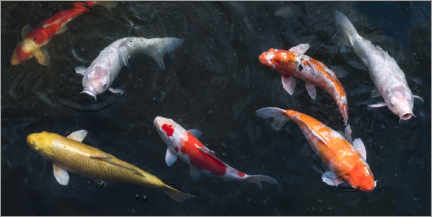 Premium poster Colorful koi carp in the pond